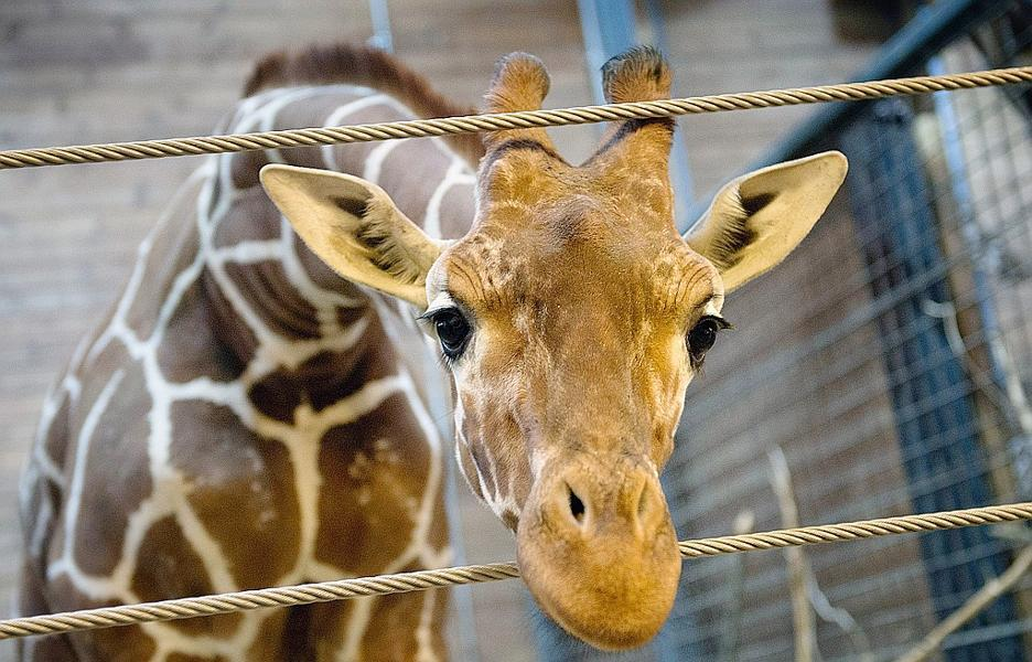Analyse de la crise du Zoo de Copenhague